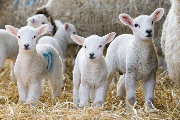Domestic Sheep, lambs, standing with ewes on straw bedding, North Yorkshire, England, march