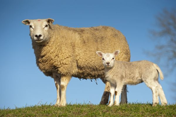 11086-00042-798. Domestic Sheep, Texel, ewe with lamb, standing in pasture, England, april
