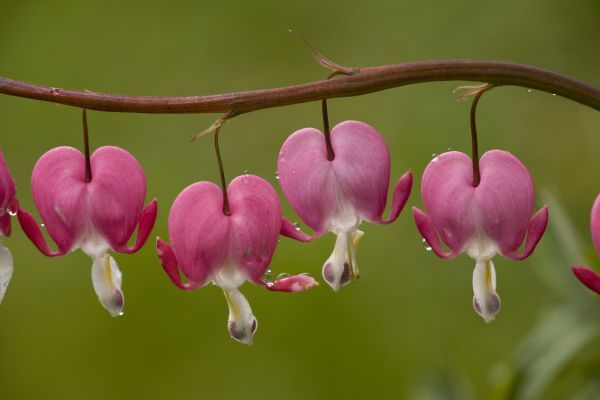 59287-00001-775. Western Bleeding Heart (Dicentra formosa) close-up of flowers, after rain