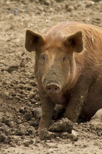 88889-07464-075. Tamworth Pig in mud